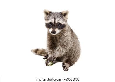 Funny little raccoon, playing rawhide bone, isolated on white background