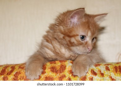 Funny Little Red Kitten Sitting On The Orange Sofa. Pretty Cute Cat With A  Pensive