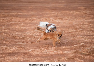 funny little running chihuahua dog trying to bite small puppy dog pet in pursuing outdoors with copy space