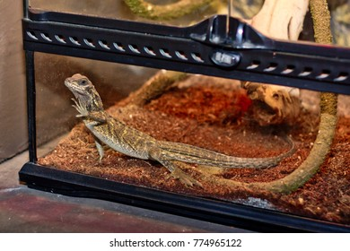 Funny lizard in the terrarium