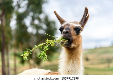 A funny Llama close-up eating grass and chewing