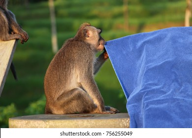 A funny long-tailed Balinese monkey testing a blue towel in a hotel in Bali, Indonesia