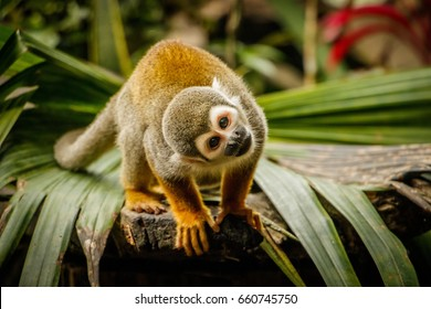 Funny look of sqirrel monkey in Amazonic rainforest, Ecuador