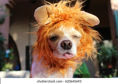 a funny looking chihuahua dog in a lion costume with tongue out.