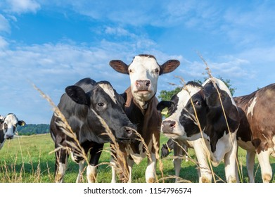 Funny looking cows stretching curious their heads towards the camera