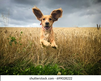 Funny looking Golden Cocker spaniel dog running through a field of wheat caught in mid flight with its ears bouncing in the air