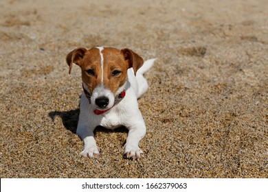 Funny looking jack russell terrier puppy at sandy beach with soft natural sun light. Adorable one year old doggy with curious eyes. Portrait, close up, copy space, background.