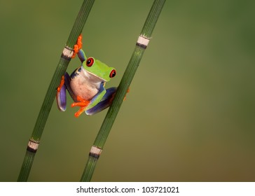 Funny looking Red eyed tree frog (Agalychnis Callidryas) hanging around