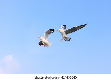 Funny looking Seagulls 's expression during snatching food in sky