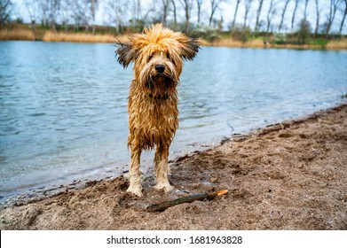 Funny looking wet briard dog with bristly hair and fluttering ears standing on shore of the lake, waiting for the command.