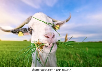Funny looking white billy goat with hilarious teeth, looking at the camera, with grass in its mouth, in a green field, on a sunny day of summer.