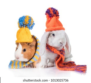 Funny lop eared rabbit with a guinea pig dressed in a knitted hat and scarf isolated on white