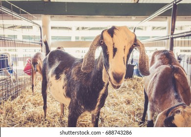 Funny lop-earred goat standing in pen at the country fair in vintage garden setting