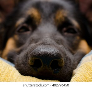 Funny macro shot of a dog nose (German shepherd lying on a pillow), shallow DOF, selective focus on the dog nose