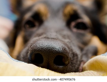Funny macro shot of a dog nose (German shepherd lying on a pillow), shallow DOF, selective focus