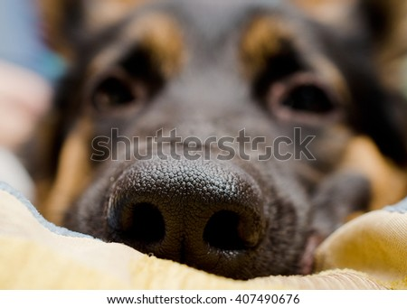Funny macro shot of a dog nose (German shepherd lying on a pillow), shallow DOF, selective focus
