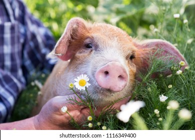 Funny male farmer in plaid shirt is bathing red piglet in pot for watering garden among blooming chamomiles. Hands close-up. Copy space. 2019 year of yellow pig. Holiday time on farm