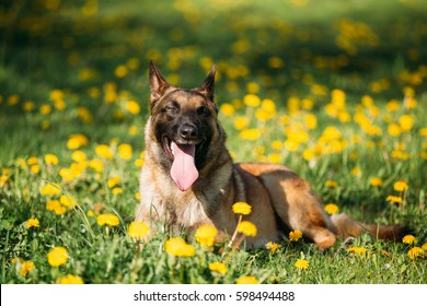 Funny Malinois Dog Resting Outdoors In Green Spring Meadow. Belgian Shepherd Dog With Closed Eyes
