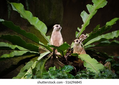 Funny meerkats looking out plant in Singapore zoo