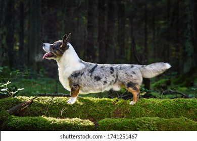Funny merle Cardigan Welsh Corgi standing on green moss in forest on a sunny day