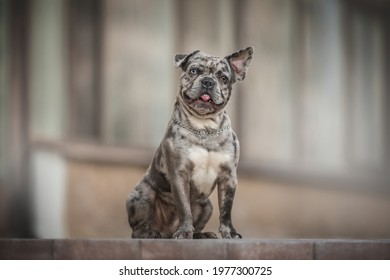 Funny merle french bulldog with heterochromia and one lowered ear sitting on a stone tile and sticking out his tongue directly into the camera against the backdrop of a glass facade
