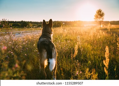 Funny Mixed Breed Dog Walking In Summer Meadow Grass At Sunset Time. Evening Summer Sunlight.