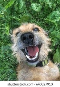 Funny mixed breed puppy making a silly face lying in the grass