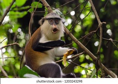 A funny Mona monkey eating a banana, Tafi Atome, Volta Region, Ghana.