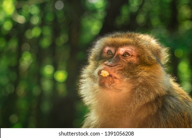 funny monkey eating popcorn, ape portrait with green bokeh copy space