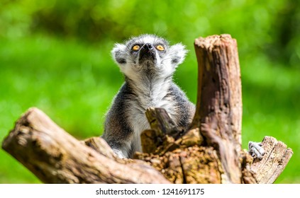 Funny monkey lemur look up. Lemur funny face. Funny monkey lemur portrait. Lemur portrait