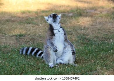 Funny monkey lemur look up. Lemur funny face. Funny monkey lemur portrait. Lemur portrait - image