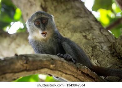funny monkey on tree branch in forest, zanzibar