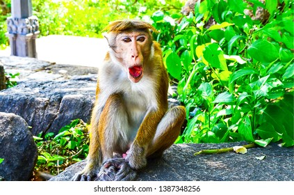 Funny monkey open mouth scene. Monkey open mouth. Funny monkey portrait. Monkey portrait
