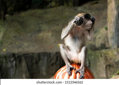 Funny monkey wearing sunglasses stolen from a tourist. Picture was made at the Batu Caves in Kuala Lumpur where there are a lot of cheeky and rude monkeys.