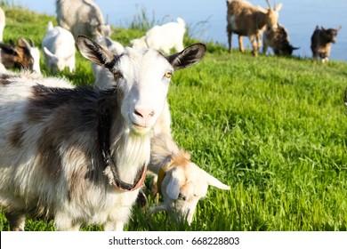 Funny muzzle curious chewing goat close-up. Portrait