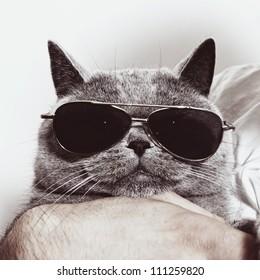 Funny muzzle of gray British cat in sunglasses closeup
