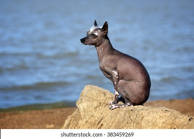 Funny naked dog is sitting on a rock on the shore