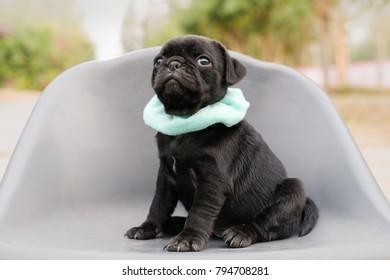 Funny newborn pug dog playing on grey plastic chair.