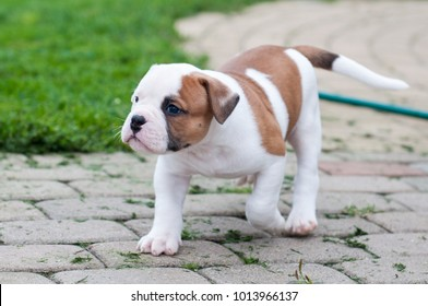 American Bulldog Images Stock Photos Vectors Shutterstock