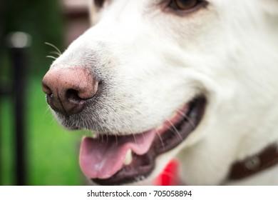 Funny nose of white labrador