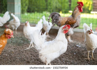 funny old white chicken in a chicken coop among a group of young hens