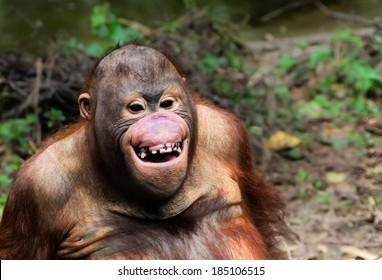 Funny  orangutan smile - monkey close up portrait