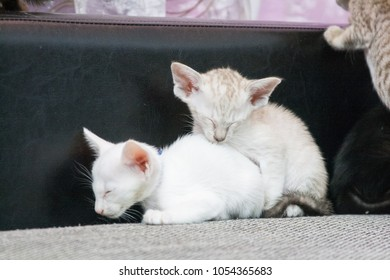 Funny oriental kittens on the sofa