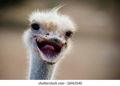 Funny Ostrich