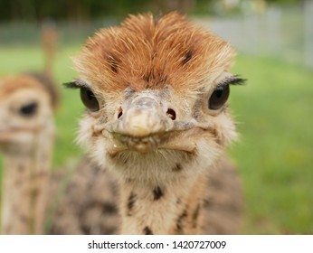 funny ostrich at farm in germany