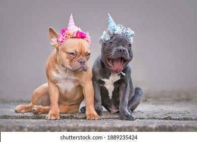 Funny pair of French Buldog dogs wearing unicorn headbands with flowers. Red fawn dog with grumpy face and laughing blue puppy with open mouth sitting in front of gray wall