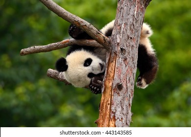 Funny Panda Bear on the tree, feeding on bark of tree. Sichuan Giant Panda from China, Asia. Rare animal in the nature forest habitat.