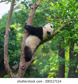Funny panda stock images royalty free images vectors shutterstock funny panda bear in tree voltagebd Choice Image
