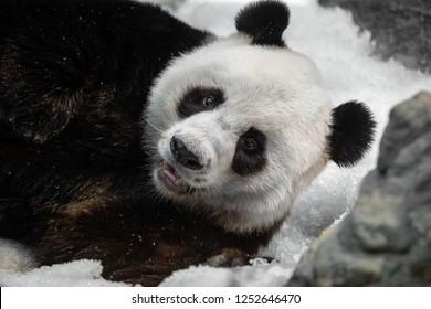 Funny panda on the snow