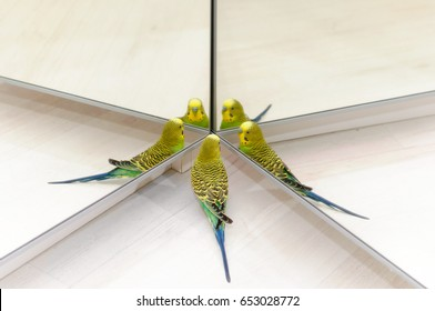 Funny parrot and mirrors. Budgerigar on floor. Budgie Look in the mirror on many reflections